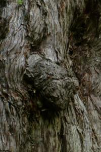 Yaku sugi bark
