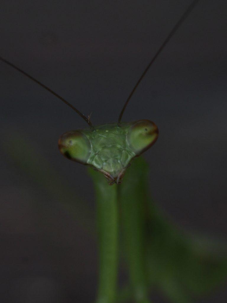 Asian Jumping Mantis - statilia maculata