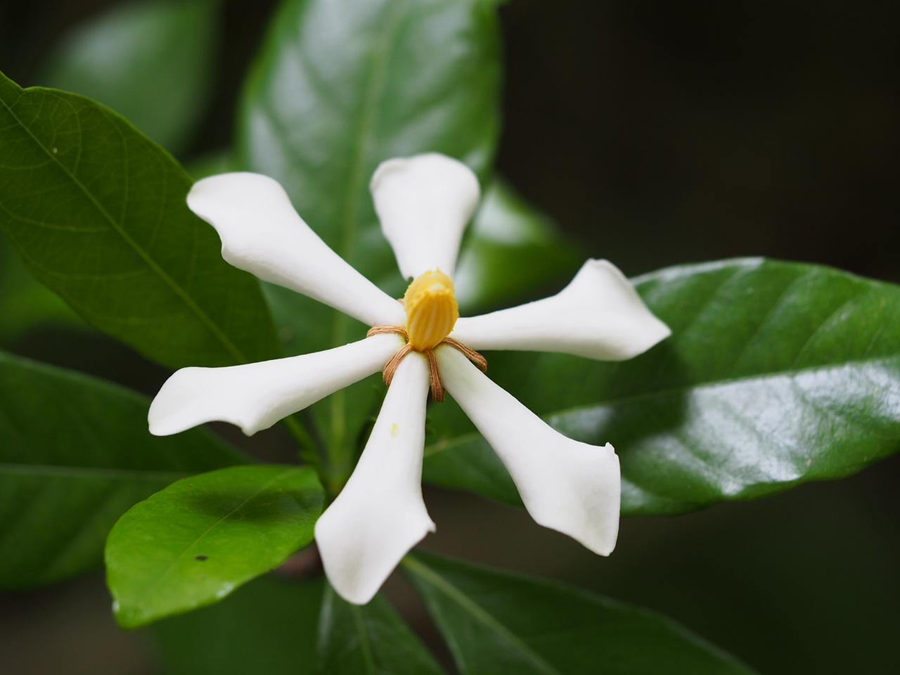 Common Gardenia - Gardenia jasminoides