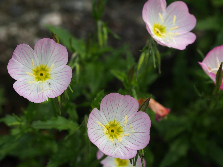 Pink Evening Primrose - Oenothera speciosa